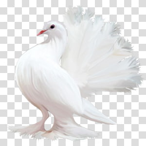 white fantail pigeon, Homing pigeon Bird Columbidae Tourterelle Colombe, pigeon PNG