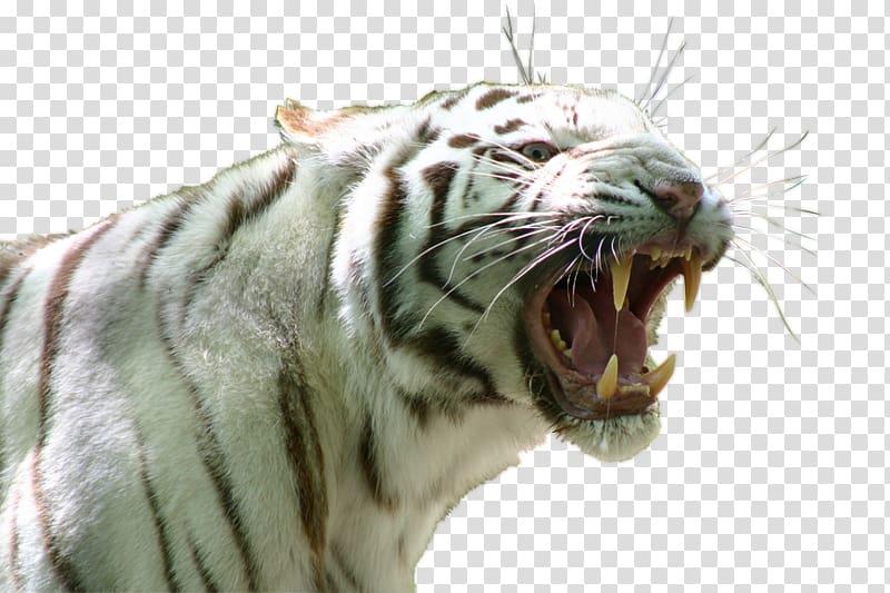 Singapore Zoo Siberian Tiger White tiger Lion, lion PNG