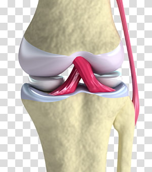 Anterior cruciate ligament Knee Joint, cartilage PNG