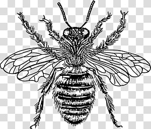 European dark bee Drawing Queen bee , bee PNG