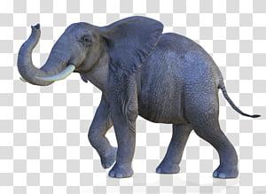 African bush elephant Asian elephant African forest elephant, African Elephant PNG