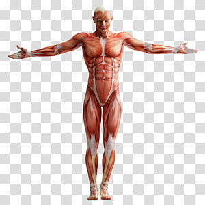 A ANATOMIA HUMANA Human anatomy Muscular system Homo sapiens, others PNG