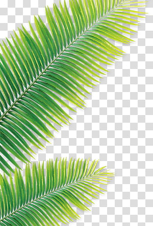 green leaf, Leaf Drawing Coconut, Green leaves PNG clipart