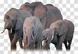 African elephant Indian elephant Herd, elefant PNG