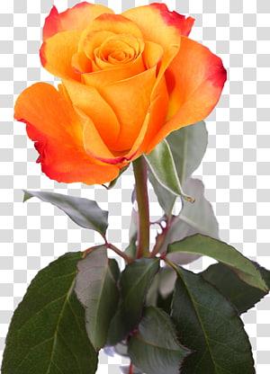Garden roses Centifolia roses Rosa chinensis Floribunda Petal, flower PNG