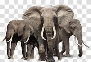 African bush elephant Asian elephant African forest elephant, Elephant HD PNG