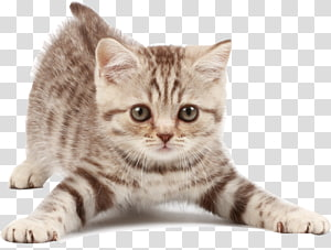 Kitten American Shorthair Maine Coon Dog Looking After Cats, kitten PNG