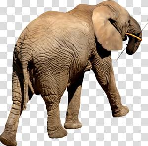 Indian elephant African elephant Elephantidae Tusk, Handpainted Baby Elephant PNG clipart