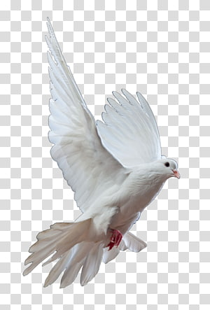 Homing pigeon Columbidae Bird Doves as symbols Release dove, gull PNG