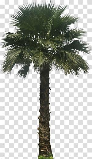 green leafed palm tree, Washingtonia robusta Washingtonia filifera Arecaceae Embryophyta Tree, Palm PNG clipart
