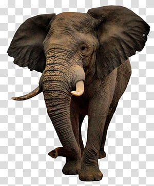 brown elephant illustration, African bush elephant, elephants PNG