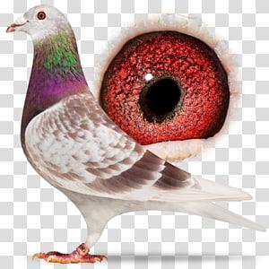 Homing pigeon Racing Homer Columbidae American Show Racer Pigeon racing, racing pigeon PNG clipart