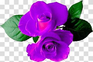 Garden roses Flower , rose PNG