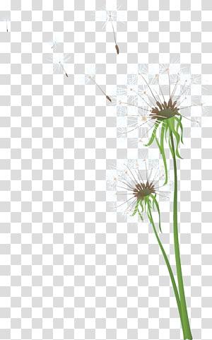 Dandelion Flower, dandelion PNG