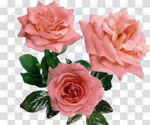 Cut flowers Garden roses Centifolia roses Floral design, pink roses PNG
