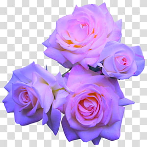 Rose Flower Purple Pink, pastel flowers PNG