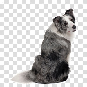 Border Collie Rough Collie Shetland Sheepdog German Shepherd Australian Shepherd, puppy PNG