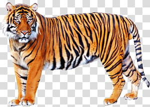 Bengal tiger illustration ], Tiger Lion, Tiger PNG