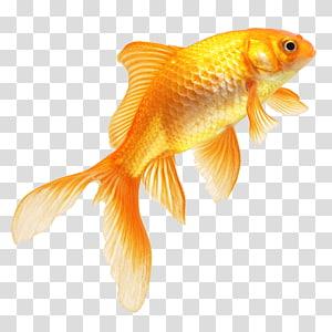 orange goldfish art, Goldfish, Real Fish PNG clipart
