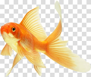 Koi Lionhead Common goldfish Ryukin Red Cap Oranda, fish PNG