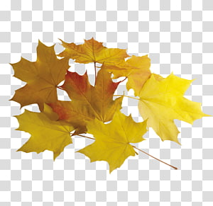 Maple leaf , Yellow maple leaves PNG clipart