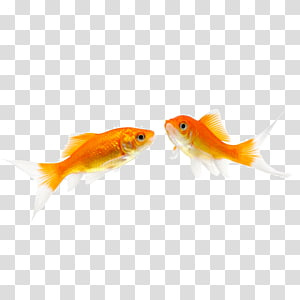 Fantail Fish Pet , One pair of swimming fish PNG clipart