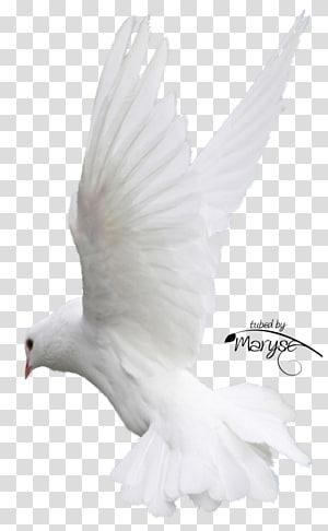 Columbidae Bird Homing pigeon Flight Feather, Bird PNG
