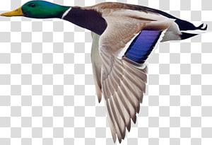 Mallard Duck Goose Bird Hunting, goose PNG