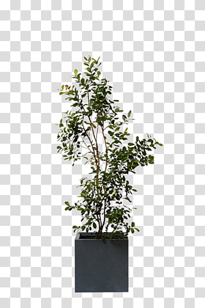 Chinese sweet plum Feijoa Dracaena Agavaceae Plant, plant PNG clipart