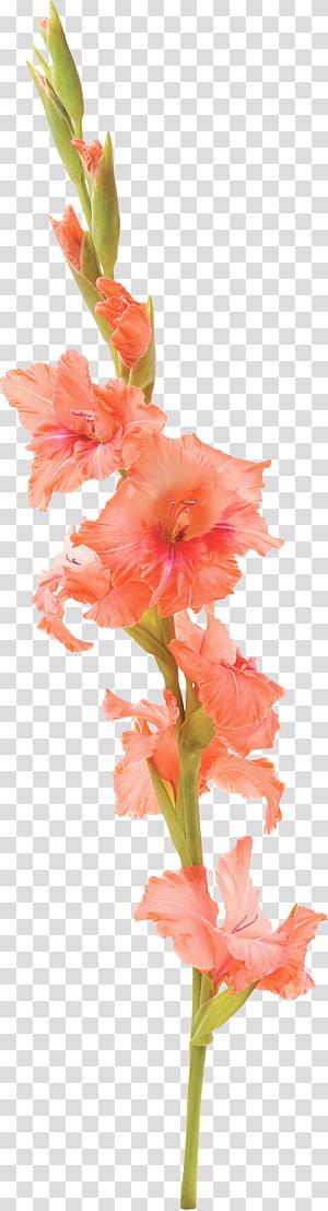 Gladiolus Flower Tattoo Petal, gladiolus PNG clipart