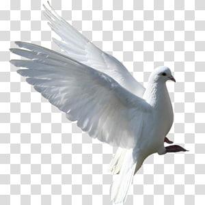 Columbidae European Herring Gull English Carrier pigeon Bird, Bird PNG clipart