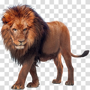 african lion PNG clipart