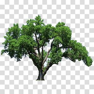Southern live oak Tree Flowering dogwood , tree PNG clipart