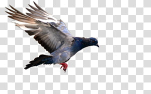 gray pigeon , Bird flight Domestic pigeon Bird flight Blue pigeon, pigeon PNG