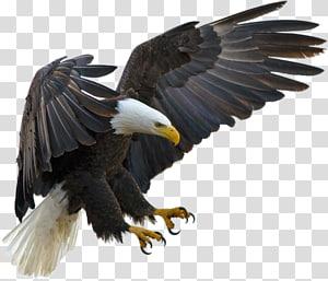 American Eagle , Bald Eagle Bird Tawny eagle Golden eagle, eagle PNG
