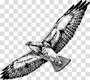 Bird of prey Swainson\'s hawk , Black Hawk PNG clipart