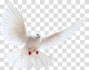 Homing pigeon Bird Portable Network Graphics Release dove, Bird PNG clipart