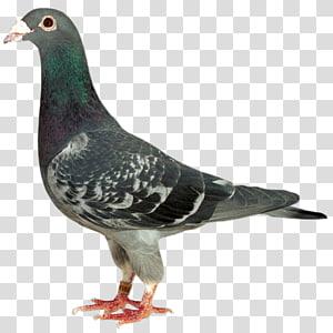 dove Racing Homer Homing pigeon Columbidae Bird, Bird PNG clipart