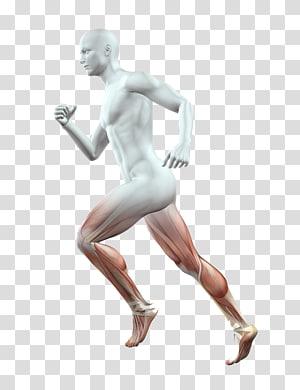 Human body Anatomy Homo sapiens Muscle, legs PNG