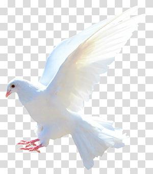 white bird illustration, Rock dove Columbidae Bird Flight Sparrow, Dove PNG