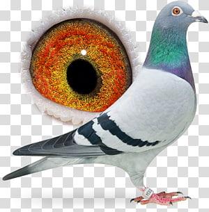 Columbidae Homing pigeon Rock dove Pigeon racing Bird, Bird PNG clipart