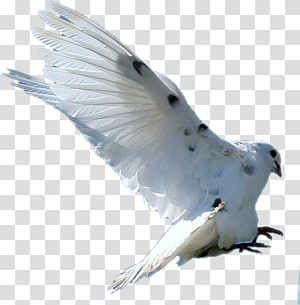 Bird Columbidae Rock dove Feather, flying seagull PNG