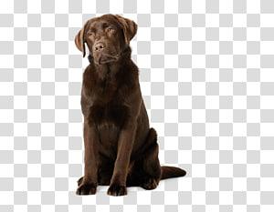 Labrador Retriever Flat-Coated Retriever Puppy Dog breed Golden Retriever, Labrador Retriever PNG