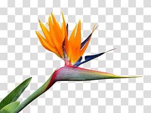 Bird of paradise flower Strelitzia nicolai Bird-of-paradise, Birds Of Paradise flower PNG clipart
