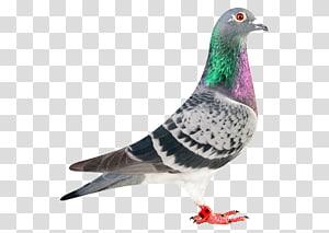 Racing Homer Homing pigeon Pigeon racing Bird Green pigeon, pigeon PNG