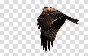 Eagle Hawk Falcon, Eagle\'s feathers PNG