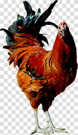 Old English Pheasant fowl Rooster Poultry farming Hen, rooster PNG