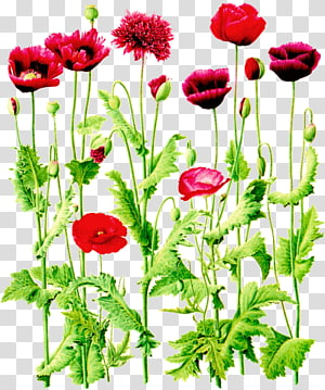 Flower of the Fields Common poppy Wildflower , flower PNG