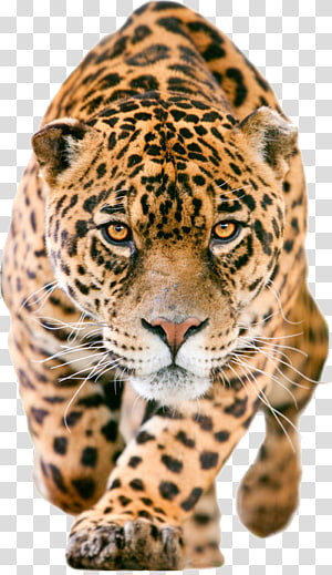 cut walking jaguar , Jaguar C-X75 iPhone 7 Lion , leopard PNG