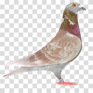 Columbidae Racing Homer Homing pigeon Bird Fancy pigeon, pigeon PNG